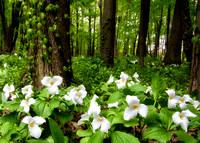 A Canopy of Trilliums